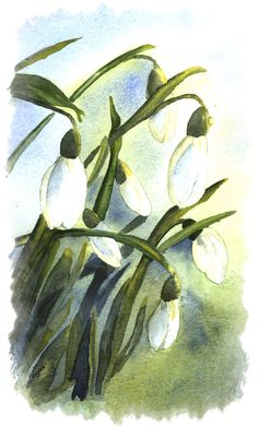 Watercolour Snowdrops - Painted by  Gloria Rogers. www.kate-j-mccarthy.com