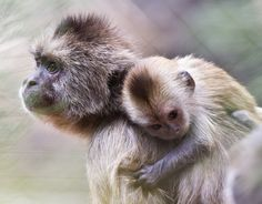 Kopatch, a 15-year-old weeper capuchin monkey, carries her one-week-old baby at their enclosure in the Ramat Gan Safari, an open-air zoo near Tel Aviv, Israel. (Reuters)