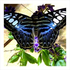 4 June 2012 - Our Butterfly Pavilion is a flutter with The Clipper (Parthenos sylvia lilacinus) - a species of found in South and South-East Asia. National Museum of Natural History.