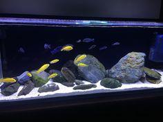 New rockscape and schools of Yellow labs, Demasoni and Blue Dolphin Tropical Fish Store, Tropical Fish Aquarium, Freshwater Aquarium Fish, Malawi Cichlids, African Cichlids, Fish Tank Themes, Fish Aquarium Decorations, Cichlid Aquarium, Aquarium Design