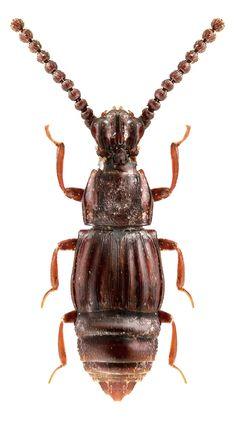 Dirocephalus arcuatus