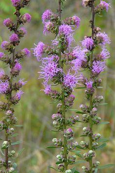 Rough Blazingstar (Liatris aspera)pretty in late summer