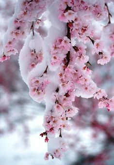 ❄A MidWinter's Night's Dream❄ ...Frozen Cherry Blossoms...By Artist Unknown...