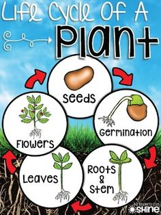 Plants Unit SO many ideas for a plant unit! 1st Grade Science, Kindergarten Science, Science Fair, Science Lessons, Teaching Science, Science For Kids, Science Activities, Science And Nature, Teaching Resources