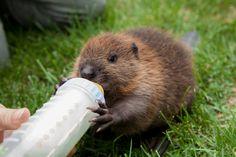 A rare find- an infant Beaver