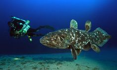 Coelacanth As a living fossil, the Coelacanth is probably the most well known 'rediscovered' animal in the world – as this fish was supposed to have. Ancient Fish, Living Fossil, Aquatic Ecosystem, Wetland Park, Deep Sea Fishing, Mundo Animal, Animals Of The World, Endangered Species, Ocean Life