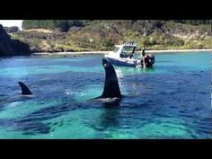 Beautiful Orcas in New Zealand - YouTube BE MY LIFE