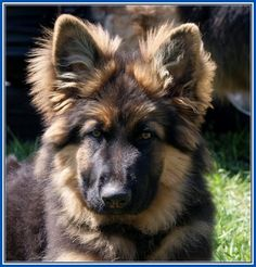 Trendy Long Haired German Shepherd Dog Pictures More Design http://joesquest.com/dog-breeds/long-haired-german-shepherd-dog-pictures/