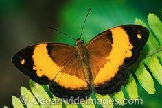 Australian Rustic Butterfly Cupha Prosope