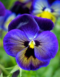 "Pansy ""Avalanche Bronze Lavender ""Flower Seeds hanging garden perennial & biennial plants home and garden Lavender Flowers, Purple Flowers, Beautiful Flowers, Exotic Flowers, Yellow Roses, Pink Roses, Biennial Plants, Indoor Bonsai, Ornamental Plants"