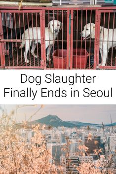 Seoul, the capital city of South Korea, is finally free of dog slaughter as the last remaining slaughterhouse has shut its doors....  .....   #vegannews #seoulnews #seoul #seoulkorea #koreavegan Vegan News, Vegan Animals, Previous Life, Animal Rights, Capital City, Climate Change, South Korea, Seoul, Animal Rescue