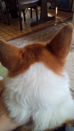 "This Corgi has a beautiful white ""collar"""