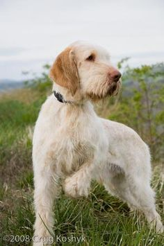 Spinone Italiano  This is a breed I'd like to own some day