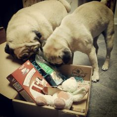 Our BarkBox arrived yesterday and the girls zeroed in on the biscuits right away! (SR)