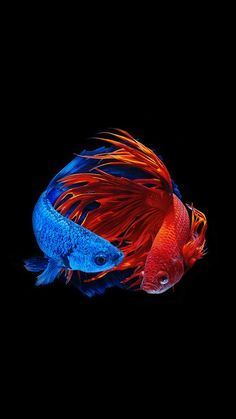 amoled animal wallpaper   fish wallpaper iphone, fish wallpaper, beta fish