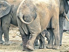 Elephants with Baby Iqhwa, Zoo Vienna
