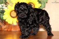 Keystone Puppies has a puppy finder feature setting you up to find and buy a dog perfect for your home. Yorkie Poo Puppies, Cavachon Puppies, Puppies For Sale, Cute Puppies, Dogs And Puppies, Doggies, Puppy Finder, Puppy Images, Buy A Dog