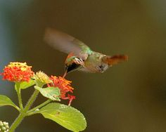 Frilled Coquette | Frilled Coquette Lophornis magnificus