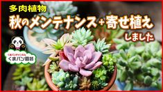 【多肉植物】秋のメンテナンスと寄せ植えをしました【くまパン園芸】 - YouTube Succulent Care, Succulents, Youtube, Plants, Succulent Plants, Plant, Youtubers, Youtube Movies, Planets
