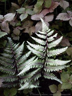 Athyrium niponicum var. pictum with Cryptotaenia japonica atropurpurea ⓒ michaela medina - thegardenerseden.com