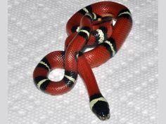 Milk - Sinaloan Reptiles, Snakes, Milk, A Snake, Snake