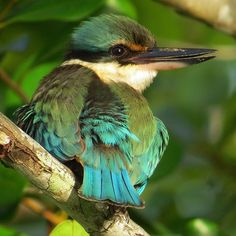 SACRED KINGFISHER---- common around Australia By David White. Australia has 11 species of kingfisher and these sacred ones live in wooded habitats throughout Australia, the female is duller than the male, she nests in a tree or termite mound and they grow from 19-23cm.