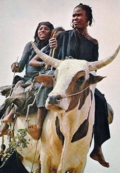 Africa | Cattle for transport. Ingall, Niger || Scanned postcard