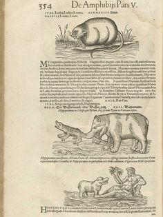 Gesner's Page 354, Hippopotamus.
