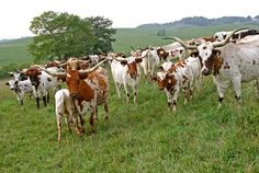 Dickinson Cattle Co has Longhorn Watusi Steers, Bulls and Cows for Sale. these are the cattle you need. Longhorn Cow, Longhorn Cattle, Farm Layout, Selective Breeding, Future Farms, Beef Cattle, Live Animals, Texas History, Hobby Farms