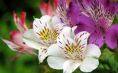 Альстромерия: 10 тыс изображений найдено в Яндекс.Картинках Peruvian Lilies, Fotografia Macro, Lily, Image, Bouquets, Beautiful Flowers, Jelly Beans, Bonito, Plants