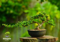 Portulacaria Afra (dwarf Jade) succulent bonsai tree by Little Jade Bonsai.