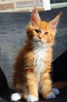 Maine Coon Kitten, what a beauty!
