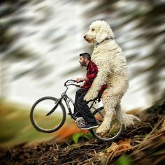 Your Dog Might Be Big, But It's Got Nothing on This Guy's Goldendoodle / Photoshop? What Photoshop?