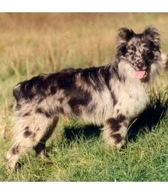 Pyrenean Shepherd Country of origin: France herding