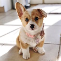 I LOVE HER ❣️ Find the best Corgi equipment only at Corgilover. Cute Baby Dogs, Cute Little Puppies, Cute Dogs And Puppies, Cute Little Animals, Pet Dogs, Lab Puppies, Weiner Dogs, Cute Corgi Puppy, Welsh Corgi Puppies