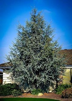 Monrovia's Blue Atlas Cedar details and information. Learn more about Monrovia plants and best practices for best possible plant performance.