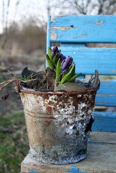 Rustikale Hyazinthenpflanzung