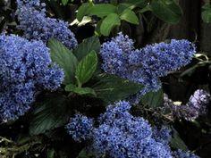 10 Top California Native Plants, Trees and Grasses.            California Lilac