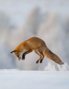 Red Fox by Дмитрий Вилюнов - Dmitry Vilyunov
