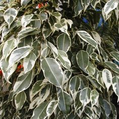Indoor Plant House Or Office Plant Ficus Benjamina