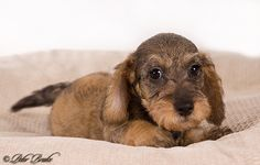 Miniature Wirehaired Dachshund Pup @ 9 Weeks