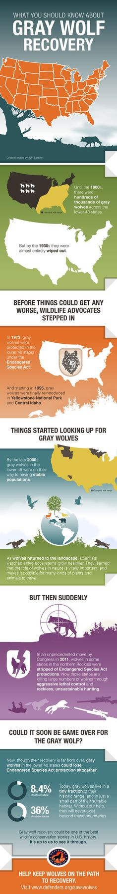 #Infograph HELP KEEP WOLVES ON THE PATH TO RECOVERY. http://www.defenders.org/savewolves