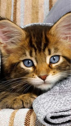 Funny cats Videos Vines 2016 Cute kittens doing funny… Kittens And Puppies, Cute Cats And Kittens, I Love Cats, Crazy Cats, Cool Cats, Kittens Cutest, Ragdoll Kittens, Tabby Cats, Bengal Cats