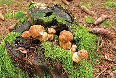 Lesní houby lze pěstovat Merida, Garden Park, Mushroom Fungi, Planting Seeds, Gardening Tips, Stuffed Mushrooms, Pergola, Fruit, Vegetables
