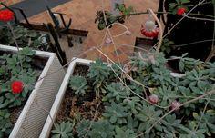 Senecio fulgens. http://www.elhogarnatural.com/Suculentas%20y%20crasas.htm