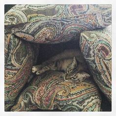 Made a pillow fort for Asia. She kinda loves it! #catsofinstgram #sillykitty #cat