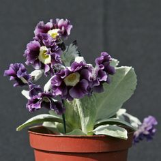 Border Auricula : McWatt's Blue. A batch of auricula arrived today - small strong healthy plants. Some will eventually find their way into an auricula theatre in the shade and others will be allowed to multiply in the raised beds