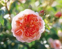 Rose Climber Colette™ Rose Colette