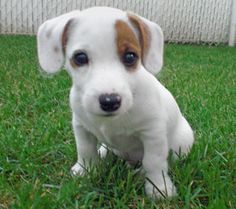 russell terriers | The Origin of the Jack Russell Terrier | Petsyy