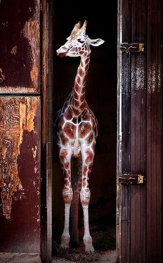 A giraffe stands in a barn, Southwick's Zoo.